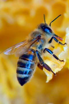 Jalea Real de abeja: un alimento exclusivo