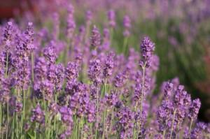 4 aromas que cambiarán tu manera de dormir
