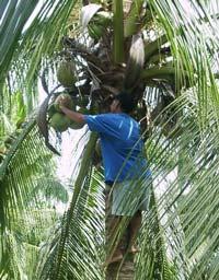El aceite de coco un fabuloso regalo tropical - grasa saludable