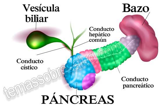 ¿Qué tiene que ver la Pequeña Vesícula Biliar con el hígado y la digestión?