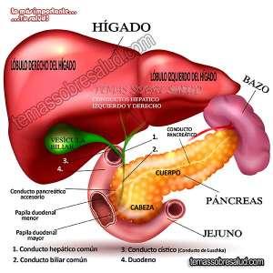 Vesícula biliar y las hormonas sexuales: Estrógeno, progesterona
