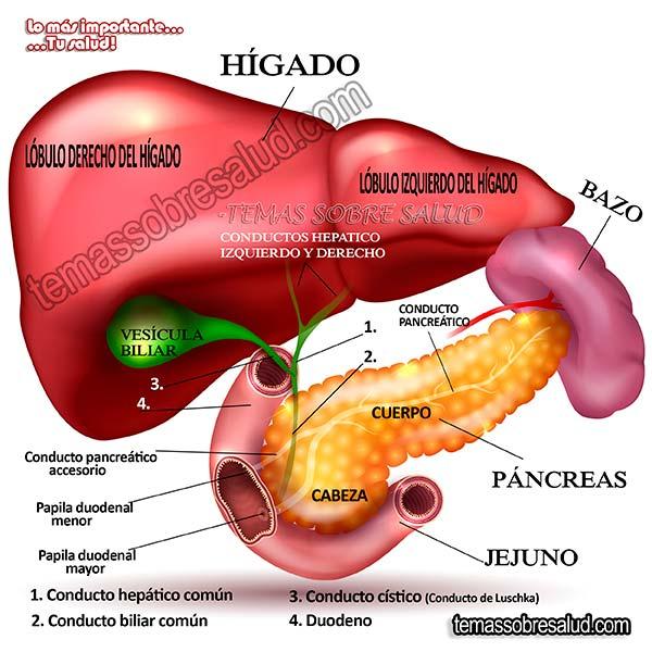 El consumo de alimentos, especialmente grasas, desencadena la liberación de una hormona llamada colecistoquinina (CCK).
