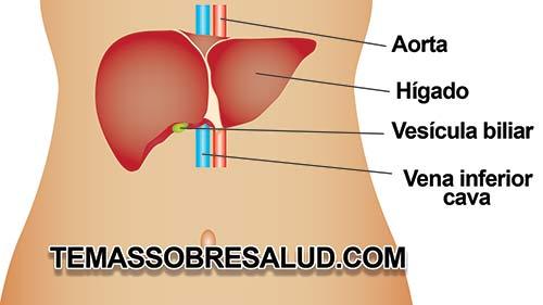 Los problemas hepáticos repercuten en la digestión por la falta de bilis - Problemas digestivos