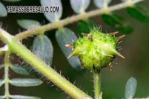 Tribulus terrestris excelente para fortalecer el balance de las hormonas