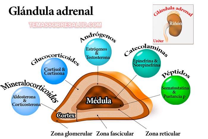 ovario-suprarrenal-tiroides: Es solo hipotiroidismo