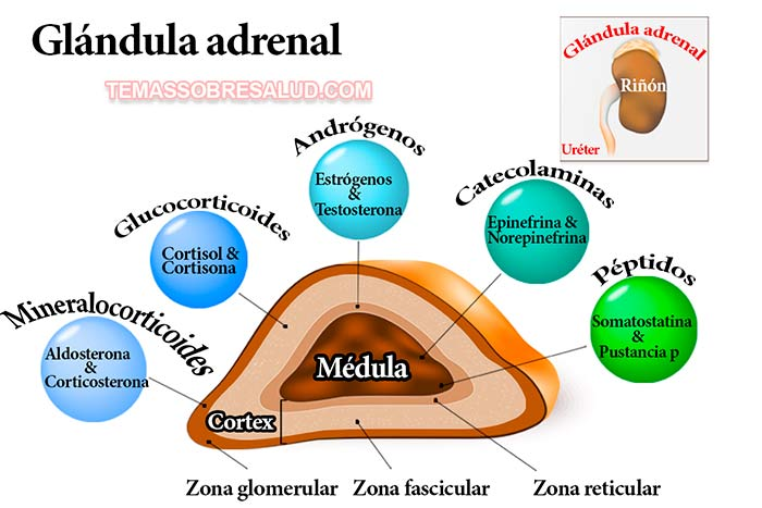 ovario-suprarrenal-tiroides