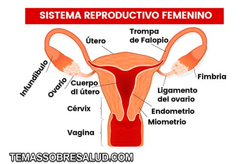 Dolor de ovarios - enfermedad tiroidea Libido bajo