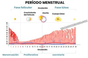 Fase lútea es la etapa post-ovulatoria del ciclo menstrual