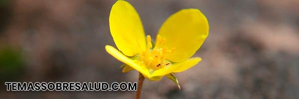 Diuréticos naturales - La fruta de Tribulus terrestris puede incrementar la producción de orina