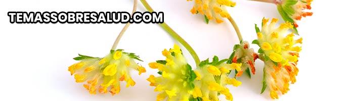 Diuréticos naturales - Raíz de astrágalo puede incrementar la eliminación de sodio en la orina