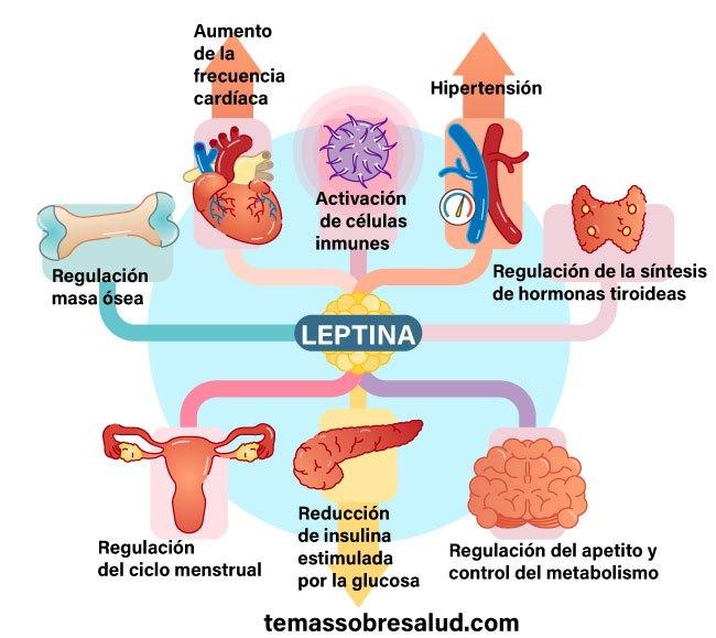Resistencia a la leptina - problemas de sobrepeso
