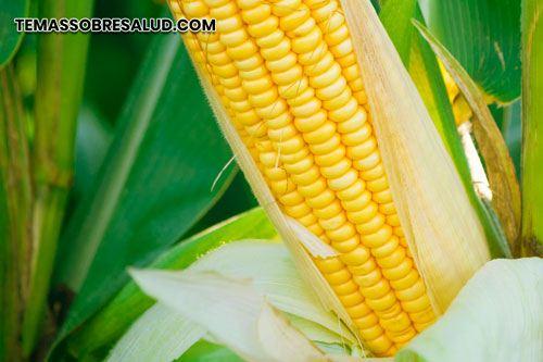 transgénicos almidón de maíz