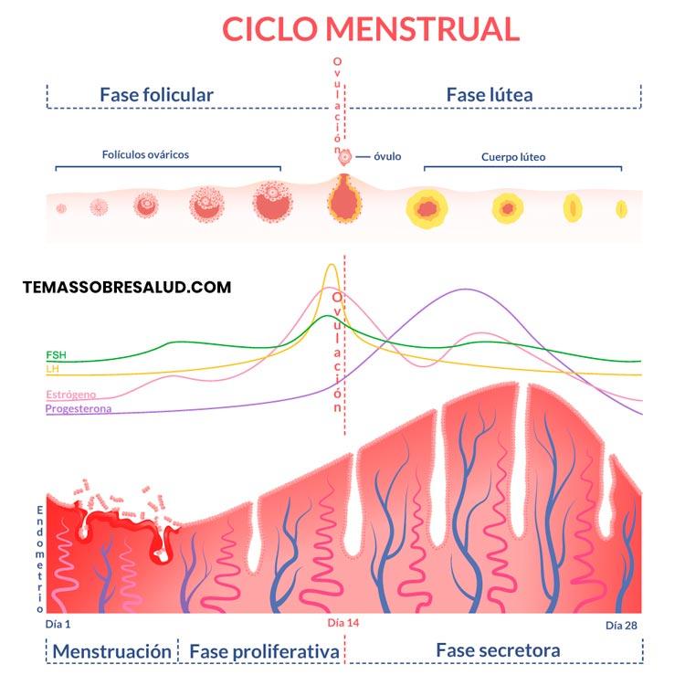 Alteraciones del período menstrual - progesterona