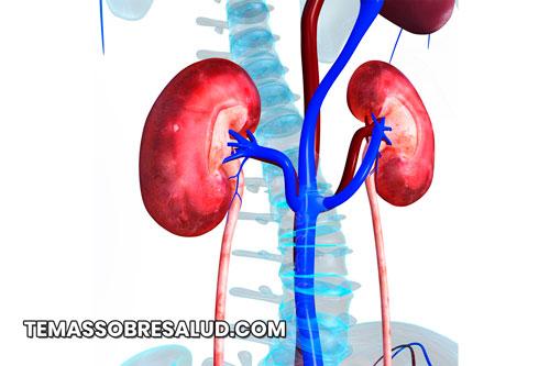 Los riñones desempeñan funciones vitales para la desintoxicación de la sangre